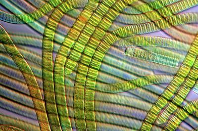 Oscillatoria Cyanobacteria Art Print by Marek Mis