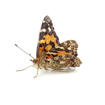 Vanessa Wall Art - Photograph - Painted Lady Butterfly by Science Photo Library