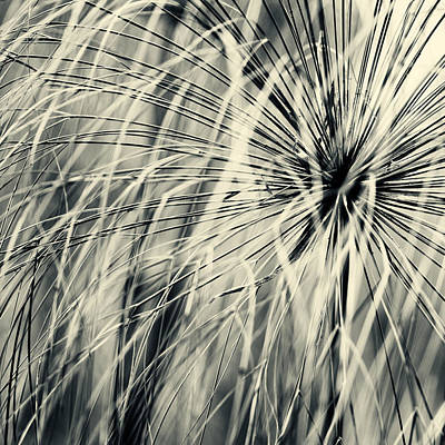 Photograph - Papyrus by U Schade