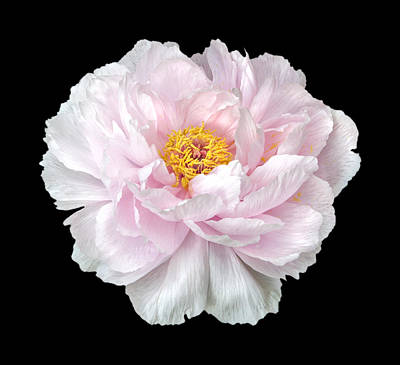 Target Threshold Nature - Peony by Charles Harden
