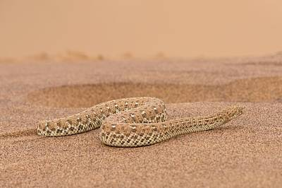 Hiding Photograph - Peringuey's Adder Side-winding by Tony Camacho