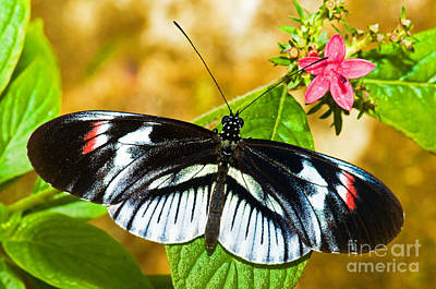 Piano Key Butterfly Art Print by Millard H. Sharp