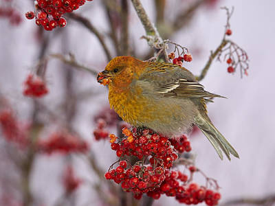 Studio Grafika Zodiac Rights Managed Images - Pine grosbeak eating rowan berries Royalty-Free Image by Jouko Lehto