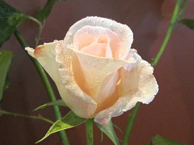 Photograph - Pink Rose by Joyce Woodhouse