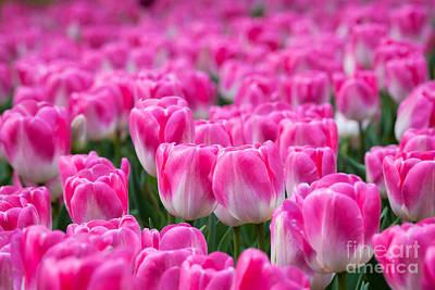Photograph - Pink Tulips by Katka Pruskova
