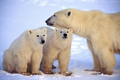 Photograph - Polar Bear Family by Randy Green