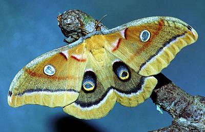 Photograph - Polyphemus Moth by Millard H Sharp