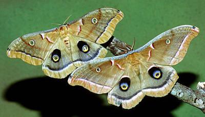 Photograph - Polyphemus Moths by Millard H. Sharp