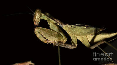 Photograph - Praying Mantis by Mareko Marciniak
