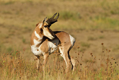 Pronghorn (antilocapra Americana Art Print by Larry Ditto