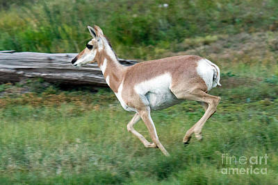 Photograph - Pronghorn by Fred Stearns