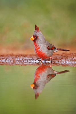Starr Photograph - Pyrrhuloxia (cardinalis Sinuatus by Larry Ditto
