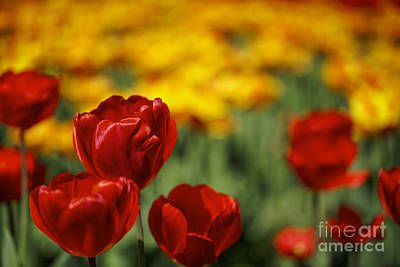 Red And Yellow Tulips Print by Nailia Schwarz