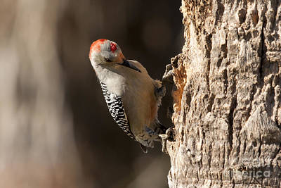 Photograph - Red Bellied Woodpecker by Meg Rousher