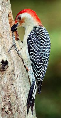 Photograph - Red Bellied Woodpecker by Millard H. Sharp