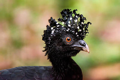 Lista Photograph - Red-billed Curassow Crax Blumenbachii by Leonardo Mer�on