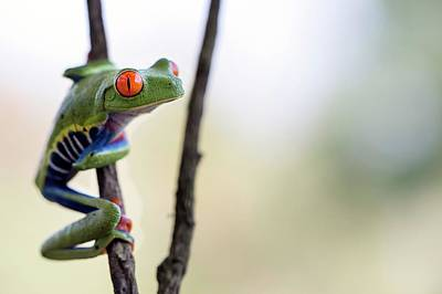 Red-eyed Tree Frog Art Print