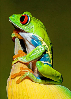 Photograph - Red-eyed Treefrog by Millard H Sharp