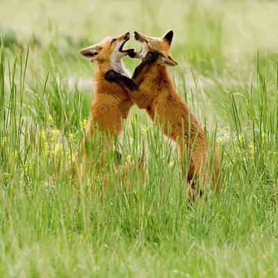 Red Fox (vulpes Fulva Art Print by Howie Garber