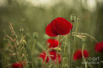 Flora Photograph - Red Poppy Flowers by Nailia Schwarz