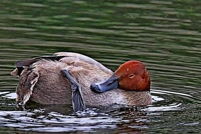 Photograph - Redhead Duck by Ira Runyan