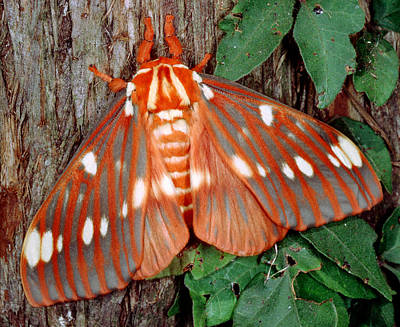 Photograph - Regal Moth Citheronia Regalis by Millard H. Sharp
