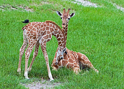 Photograph - Reticulated Giraffe Juvenile & Calf by Millard H. Sharp
