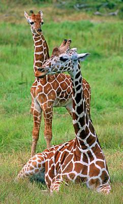 Photograph - Reticulated Giraffes by Millard H. Sharp