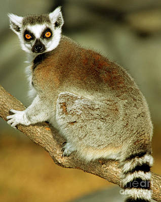 Lemur Catta Photograph - Ring-tailed Lemur by Millard H. Sharp