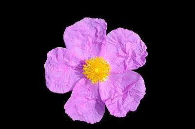 Bath Time Rights Managed Images - Rockrose flower Royalty-Free Image by George Atsametakis