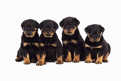 Rottweiler Puppy Dogs Art Print by John Daniels