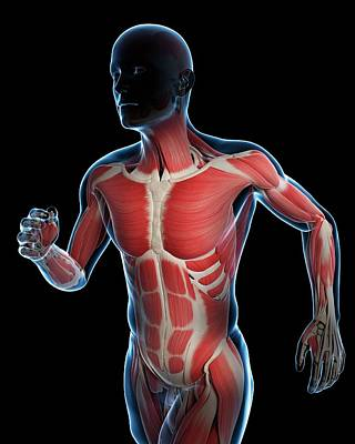 Runner Muscles Art Print by Sciepro/science Photo Library