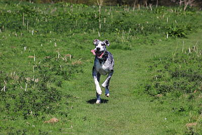 Harlequin Great Dane Photograph - Running Great Dane by Turnip Towers