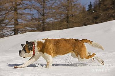 Dog In Snow Photograph - Saint Bernard by Jean-Michel Labat