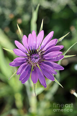 Print featuring the photograph Salsify Flower by George Atsametakis