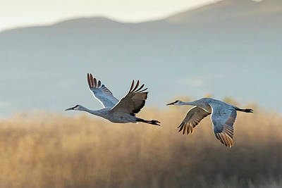 Sandhill Cranes Flying, Grus Art Print