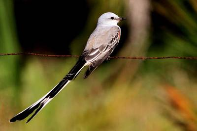 Photograph - Scissor-tailed Flycatcher by Ira Runyan