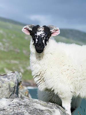 Sheep (cheviot) On The Isle Of Harris Art Print by Martin Zwick