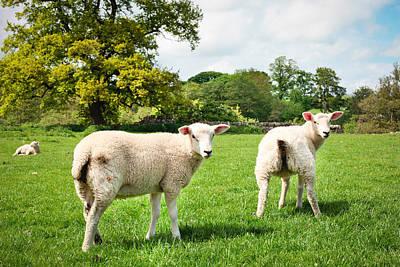 Sheep In Field Art Print