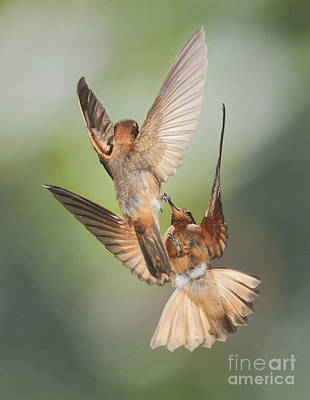 Photograph - Shining Sunbeam Hummingbirds by Dan Suzio