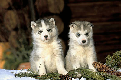 Dog In Snow Photograph - Siberian Husky Puppies by Rolf Kopfle