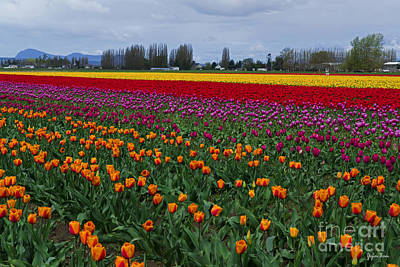 Washington Driftwood Beach Fog Wall Art - Photograph - Skagit Valley Tulip Festival - Washington by Yefim Bam