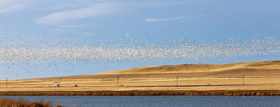 Snow Geese During Spring Migration Art Print by Chuck Haney