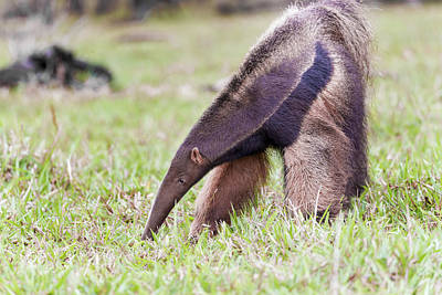 Anteater Photograph - South America, Brazil, Mato Grosso by Ellen Goff