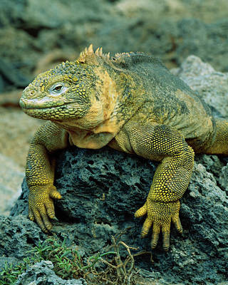 Land Iguana Photograph - South America, Ecuador, Galapagos by Jaynes Gallery