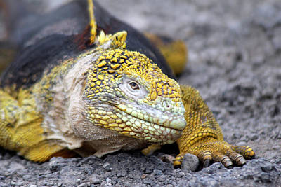 Land Iguana Photograph - South America, Ecuador, Galapagos by Kymri Wilt