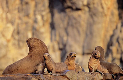 Fur Seal Photograph - South American Fur Seal (arctocephalus by Martin Zwick