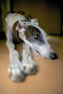 Rescued Greyhound Photograph - Spanish Greyhound by Nano Calvo