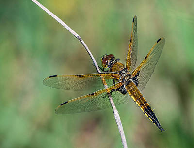4-spotted Chaser Art Print
