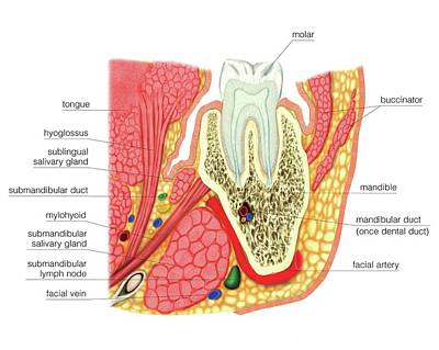 Structure Of A Molar Print by Asklepios Medical Atlas